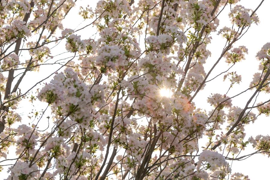Kirschblütentage